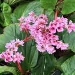 Winter-Blooming Bergenia