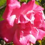 'Burbank' Rose