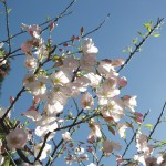 'Akebono' Flowering Cherry