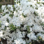 Azalea against Memorial Garden trellis