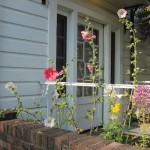 Hollyhocks & Cleome at Music Room door