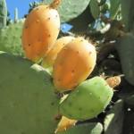 Spineless Cactus