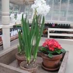 Bulbs in Greenhouse