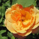 'About Face' Rose