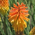 Red-Hot Poker Plant