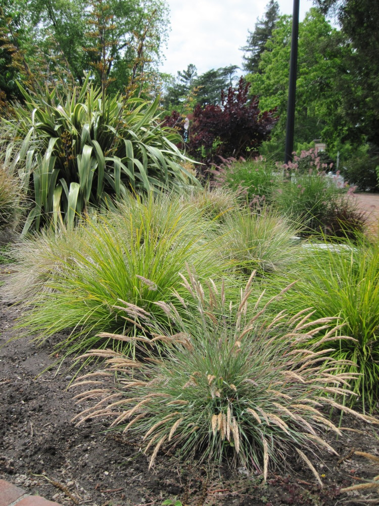 May blooms luther burbank home gardens for Ornamental grasses that bloom