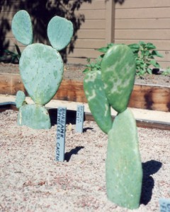Newly-planted Spineless Cactus