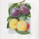 Fruit Print - Group of Plums