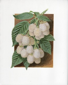 Fruit Print - White Blackberry