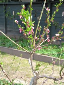 Rachel's Fruit Salad Tree - an example of grafting.