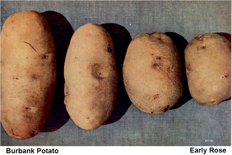 Burbank Potato vs Early Rose Potato