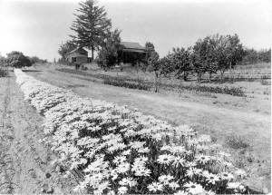 Vintage photo of row of Shasta Daisies at Gold Ridge Farm