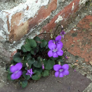 Small violet growing in the crack between a brick wall and a brick pathway.